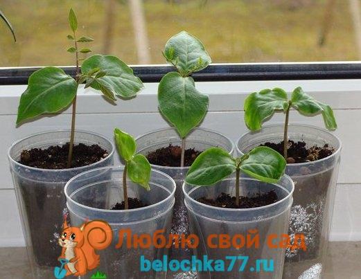 Кобея: выращивание из семян, виды и сорта