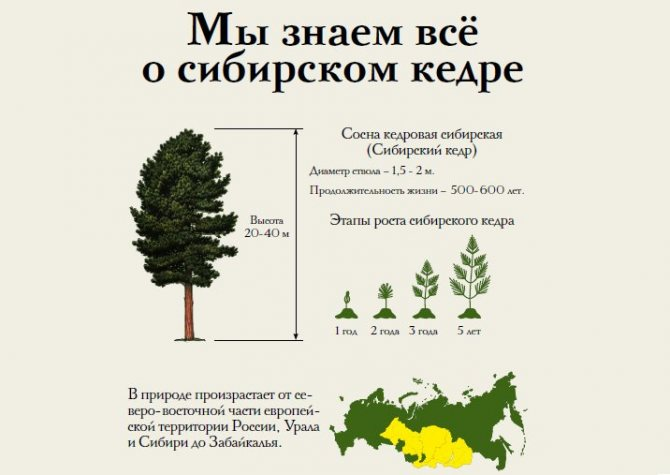 Сибирский кедр: описание, правила ее посадки и размножения