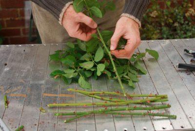 ᐉ как обработать розы осенью железным купоросом - godacha.ru