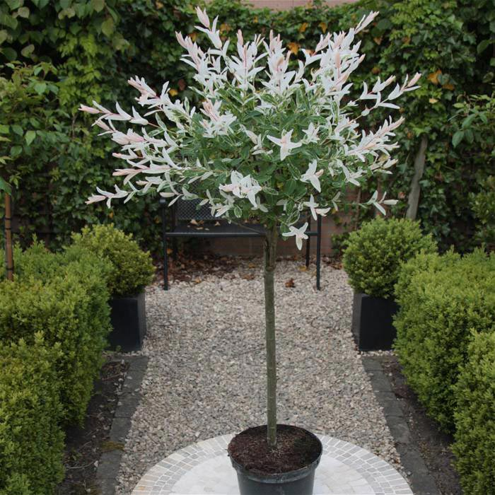 Особенности выращивания плакучей ивы: выбор посадочного материала, посадка и уход