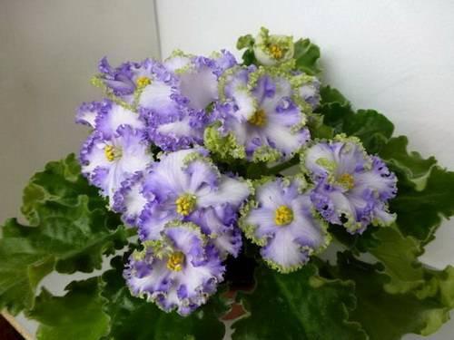 Сорта фиалок с самыми крупными цветами с фото, а также выращивание из семян многолетних разновидностей