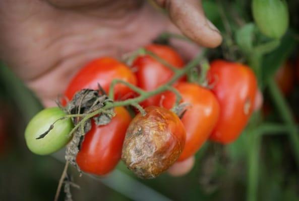 Фитофтора на помидорах (томатах) 3 лучших способа борьбы