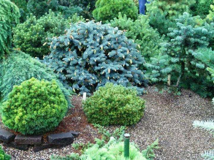 александр верещак питомник хвойных растений