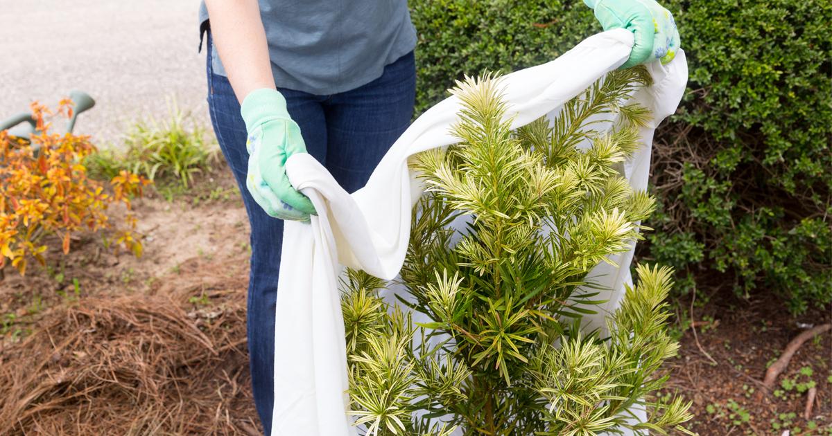 Лапник - что это такое и как его использовать для укрытия растений на зиму?
