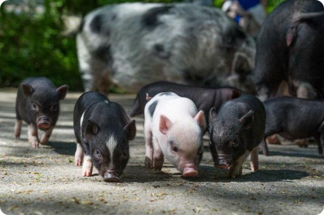 Въетнамская вислобрюхая порода свиней