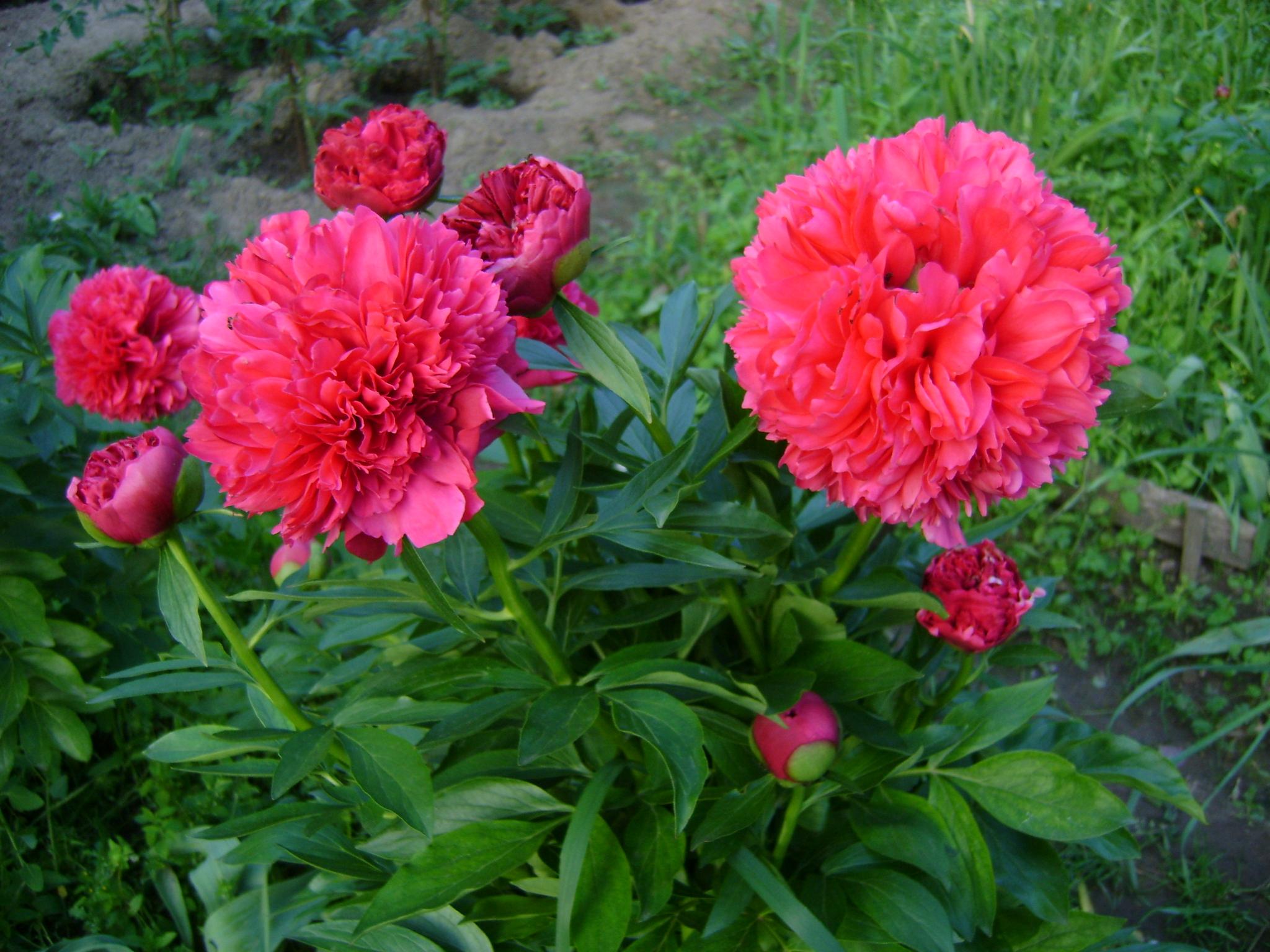 20 лучших сортов пионов для сада: описание, фото, отзывы