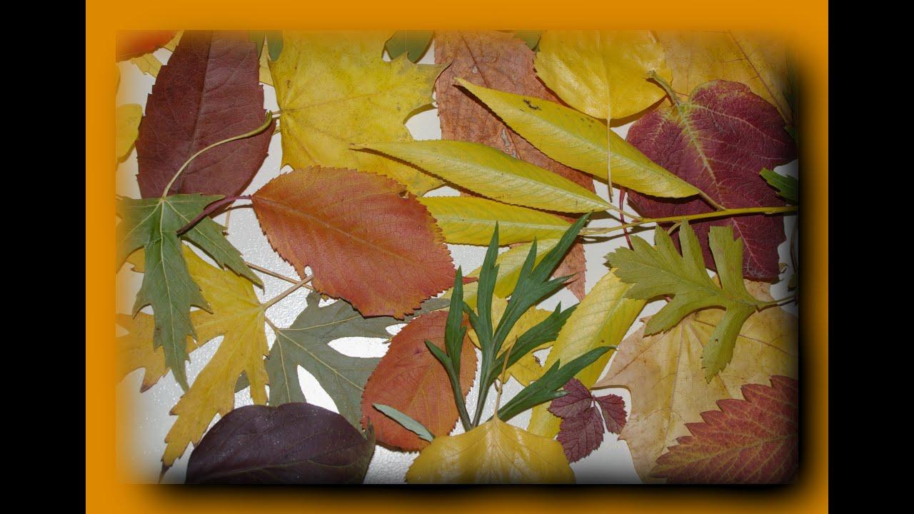 как сделать гербарий из листьев