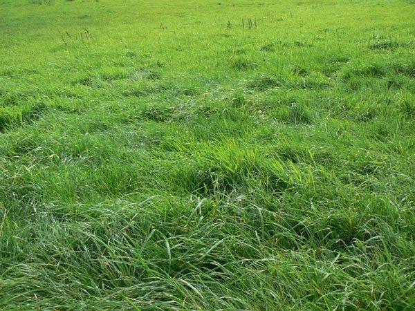Белый клевер для газона: отзывы, фото, выращивание