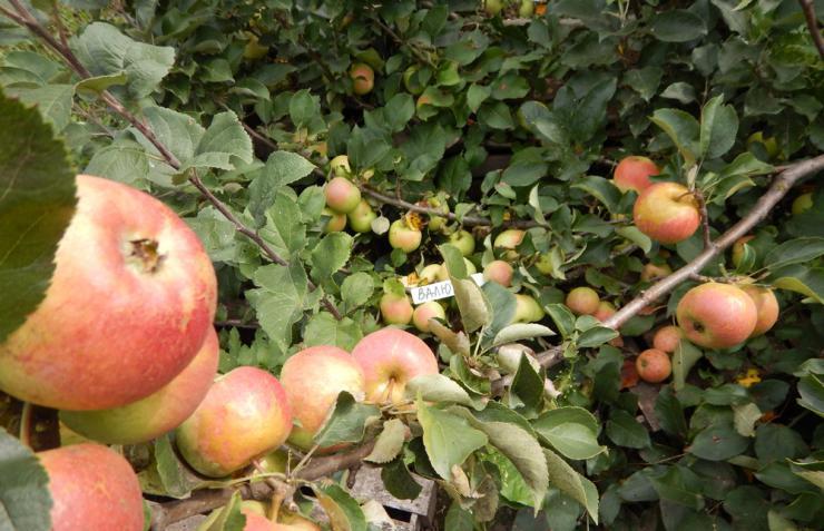 Когда собирать яблоки зимних сортов на хранение: сроки, в которые необходимо снимать (обрывать) плоды и в какое время начинается сбор урожая на зиму selo.guru — интернет портал о сельском хозяйстве