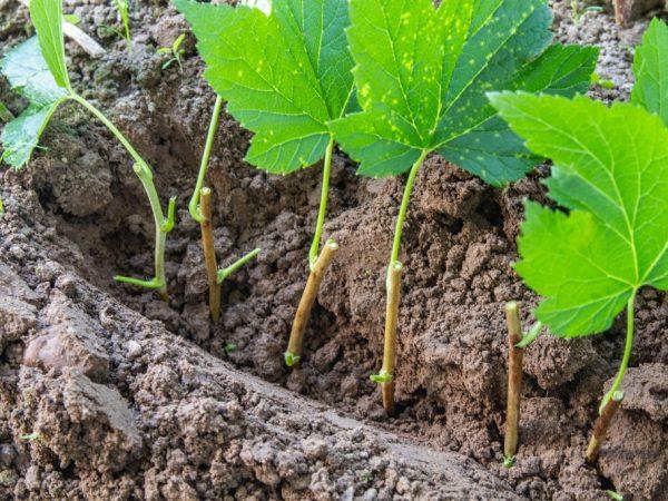 размножение черной смородины отводками