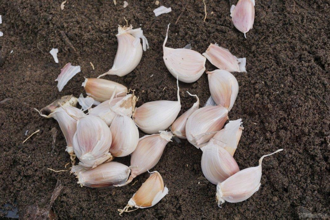 посев озимого чеснока осенью