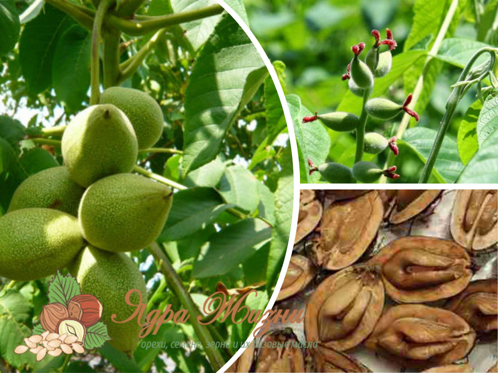 маньчжурский орех где растет