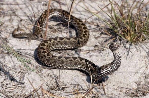 Уж и гадюка: как вести себя при встрече со змеями