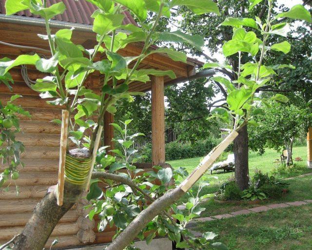 как правильно посадить саженец яблони осенью