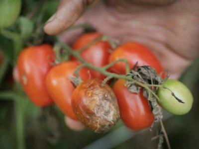 Лечение фитофторы на томатах: препараты, народные средства, профилактика