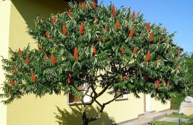 дерево сумах фото и описание отзывы