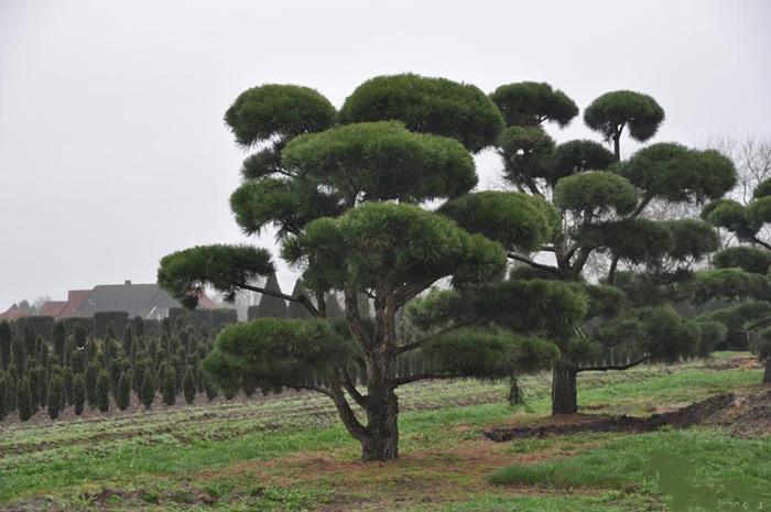 Горная сосна в ландшафтном дизайне: разновидности, примеры, фото
