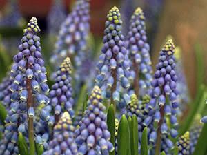 мускари фото цветов
