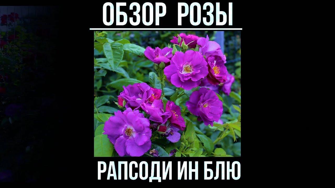 Роза рапсодия ин блю — описание, правила выращивания