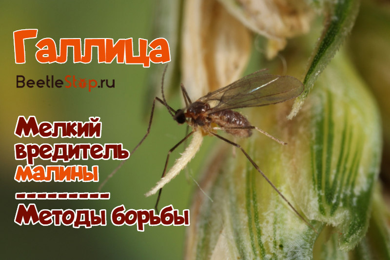 Распространенные болезни малины – боремся за вкусный урожай!