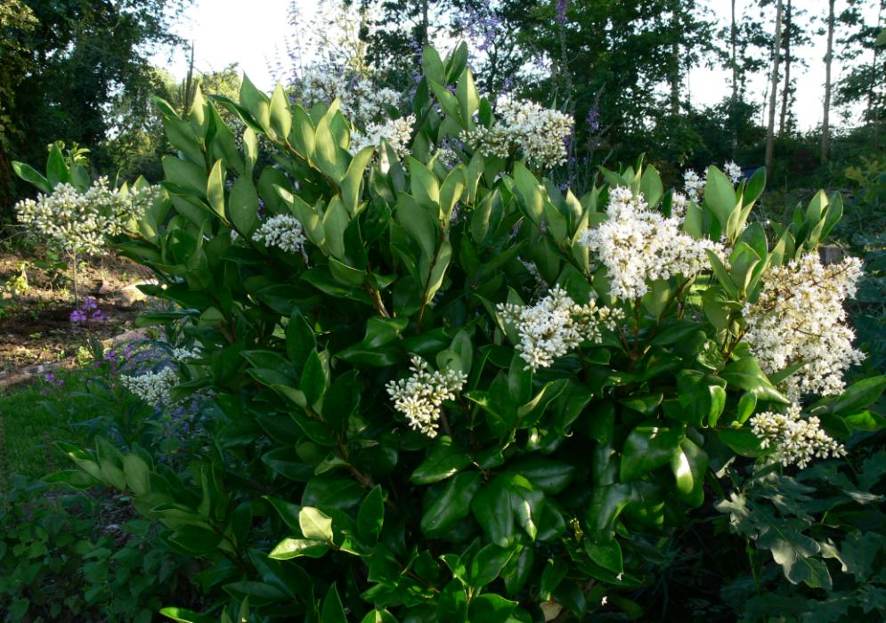 Бирючина: посадка и уход в открытом грунте, обрезка, размножение, фото