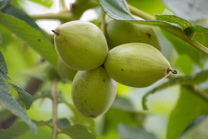 Маньчжурский орех: агротехника, посадка и правильный уход