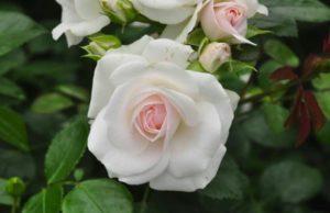 роза рапсоди ин блю