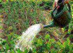 Как посадить хрен на огороде: изучаем по пунктам