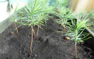Сколько растет сосна? 13 фото что влияет на скорость роста ростка? как остановить рост в высоту? чем подкормить, чтобы его ускорить?