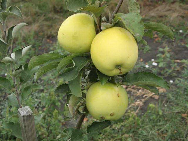 Лучшие сорта яблонь   фото   описание   отзывы