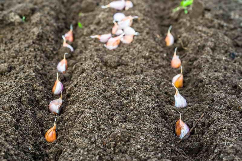 на какую глубину сажать озимый чеснок осенью