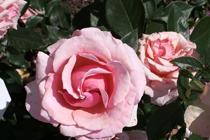 роза поэтри