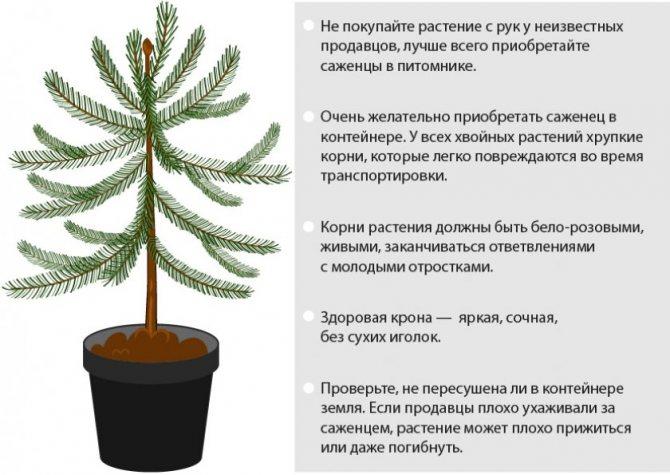 Почему хвойные деревья лучше высаживать зимой