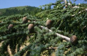 кедр хвойное или лиственное дерево