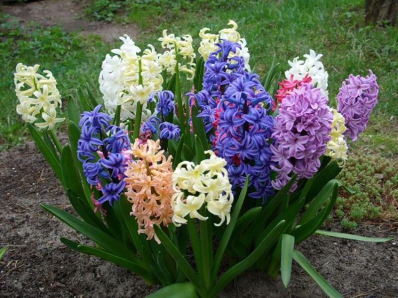 луковичные растения для сада