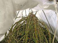 Розы: укрытие роз на зиму, обрезка осенью и подготовка к зиме