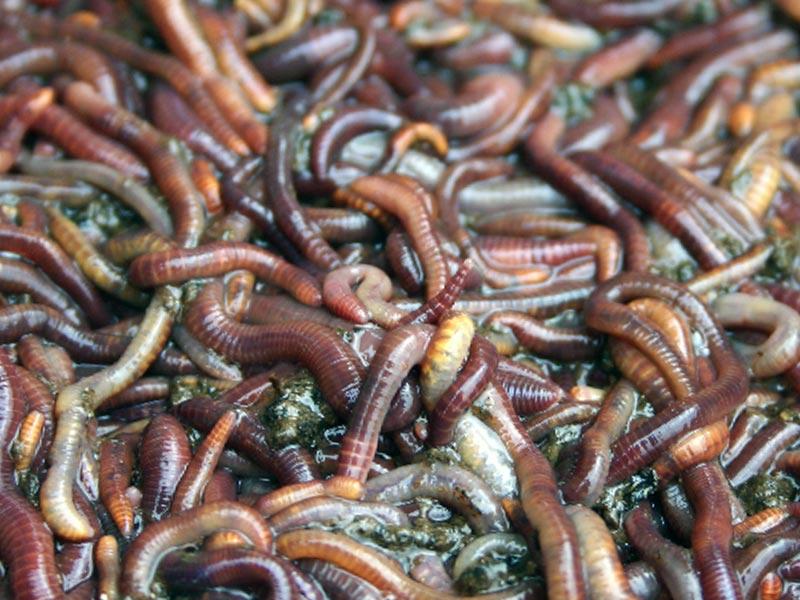 Купить червей старатель оптом и в розницу от производителя