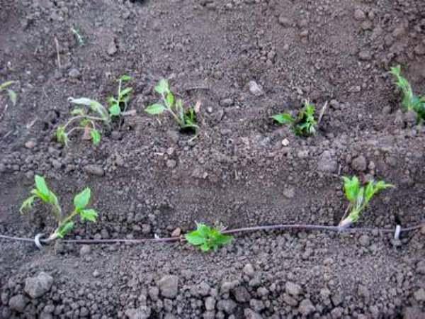 Как размножить клематис летом, осенью - черенками, отводками, семенами
