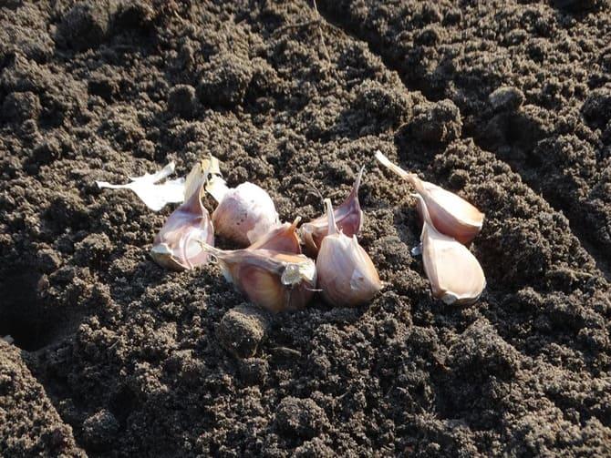 схема посадки чеснока осенью