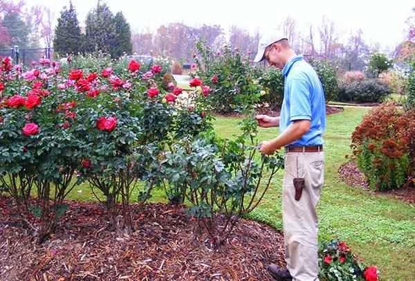 готовим розы к зиме в октябре