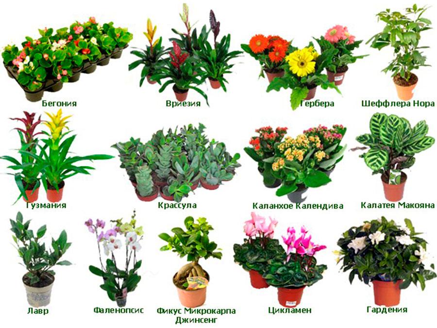 Домашние цветы и декоративные горшечные растения: названия и фото