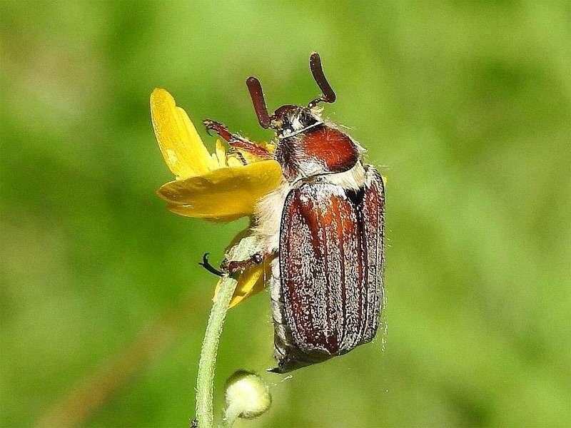 Личинка бронзовки и майского жука отличия. как отличить личинку бронзовки от хруща | дачная жизнь