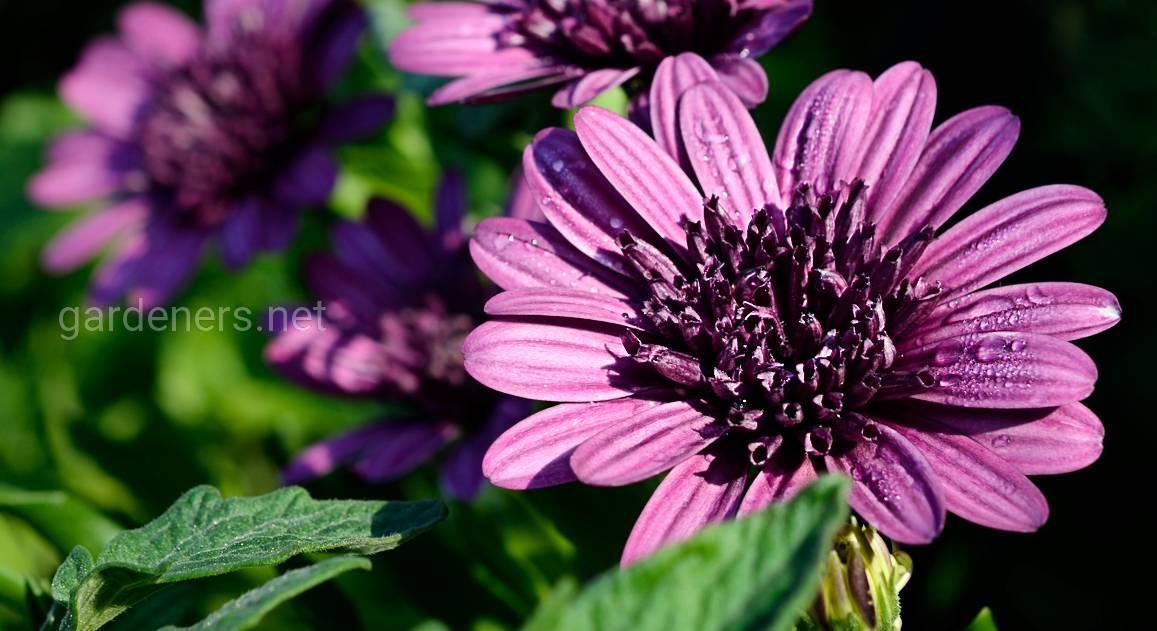Остеоспермум (49 фото): это однолетний или многолетний цветок? выращивание в открытом грунте и в домашних условиях, посадка и уход. когда сажать семена?