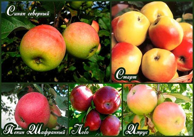 Зимние сорта яблок с описанием - плодовые деревья - смолдача - портал дачников, садоводов и любителей загородной жизни
