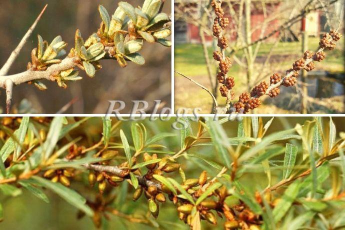 Облепиха — посадка весной и осенью, правила ухода и выращивания