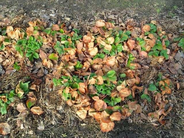 Чем отличается клубника от земляники: характеристика и особенности каждого вида