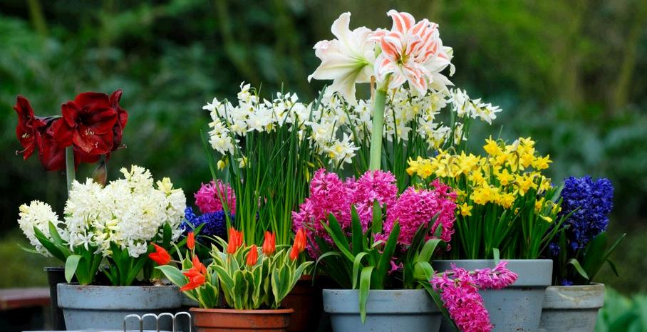 луковичные садовые цветы многолетники