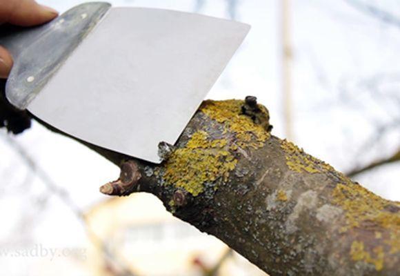 лишайники поселившиеся на деревьях