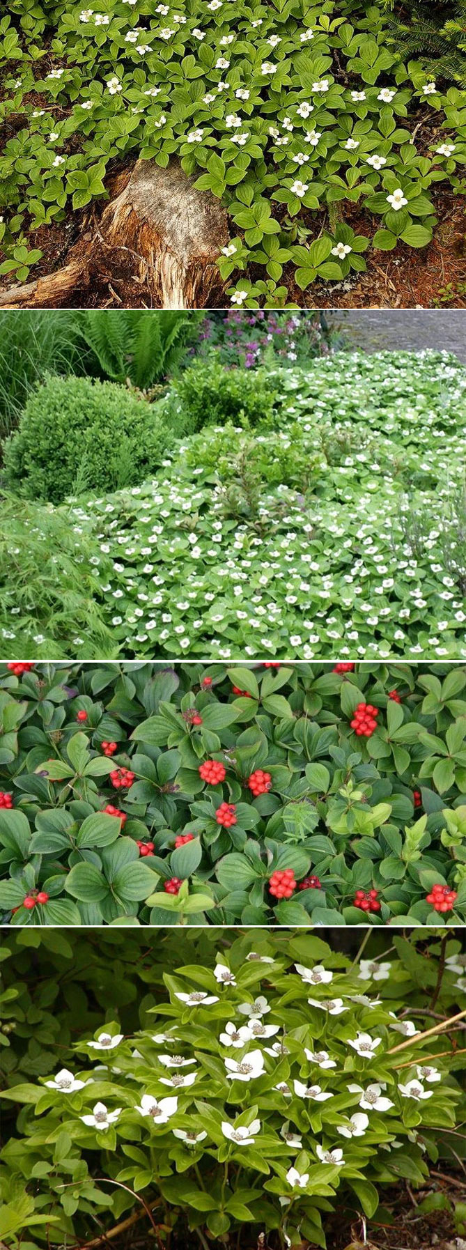 Цветущие все лето почвопокровные многолетники для сада: описания, названия и фото + преимущества многолетних растений