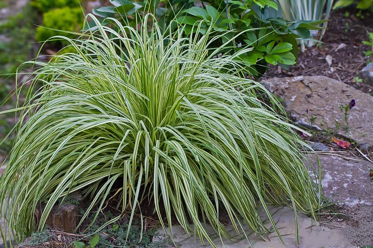 Декоративная трава для сада с фото и названиями